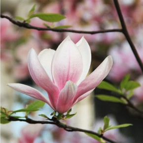 Fototapeta Samotna Magnolia nr F413159