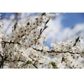 Fototapeta kwiaty jabłoni nr F213215