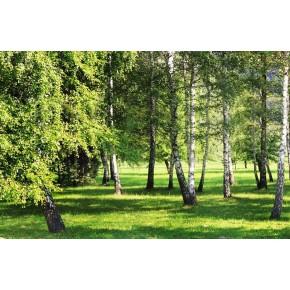 Fototapeta las brzozowy nr F213352